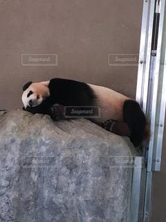 石の上で寝るパンダの写真・画像素材[1285143]