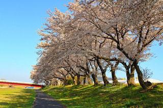 芝生広場の大きな木桜の写真・画像素材[1285201]