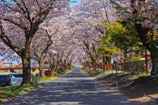 桜並木トンネルの写真・画像素材[1286537]