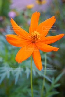 オレンジ色の花の写真・画像素材[1300873]