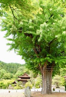 樹齢600年超の銀杏の木の写真・画像素材[2145726]