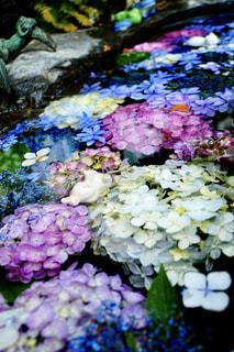 名古屋  大須にある三輪神社で、手水舎に浮かぶ紫陽花の写真・画像素材[2220042]