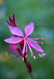 珍しいピンク色のガウラの花の写真・画像素材[2486203]