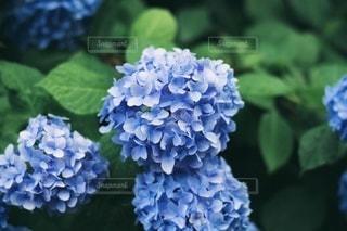 青紫色のあじさいの写真・画像素材[3333313]
