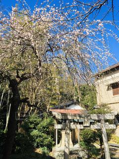 枝垂れ梅、咲き始めましたの写真・画像素材[2916134]