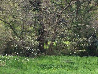 河畔林に咲く大島桜の写真・画像素材[3028108]
