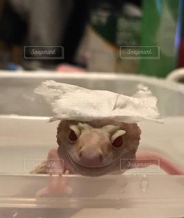 入浴中のレオパの写真・画像素材[1287097]