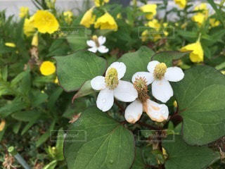 花の写真・画像素材[62428]