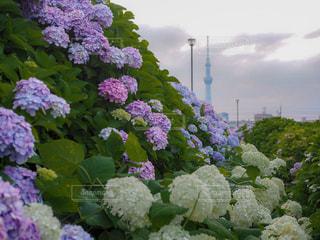 紫陽花の写真・画像素材[1287272]
