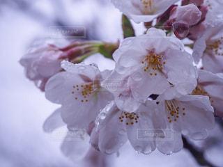 雨桜の写真・画像素材[1287279]