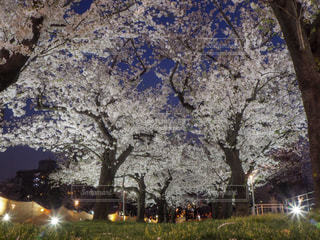 夜桜の写真・画像素材[1287284]