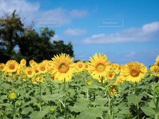 黄色の花の写真・画像素材[1386908]