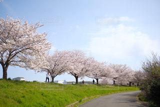 フィールドの大木の写真・画像素材[1287518]
