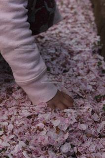 たくさんの桜の花びらの写真・画像素材[1287751]