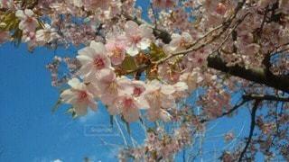 桜の写真・画像素材[76398]
