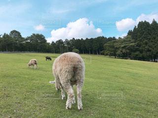 緑豊かな緑のフィールドの上に羊立っての群れの写真・画像素材[1288298]