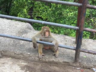 フェンスと猿の写真・画像素材[1288524]