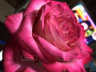 家の中のバラの写真・画像素材[2428022]