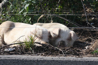 祝島の放牧豚の写真・画像素材[1874638]