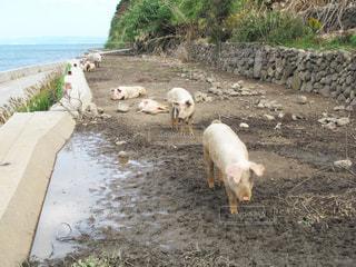 祝島の放牧豚の写真・画像素材[1874642]