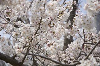桜の花の写真・画像素材[2042961]