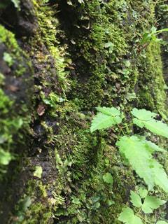 苔むす森の写真・画像素材[1310923]