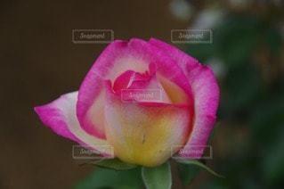 花の写真・画像素材[97594]