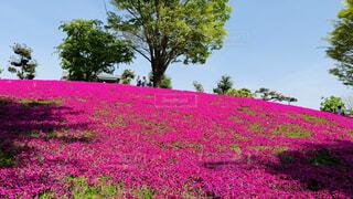 大きな紫色の花が草原にあるの写真・画像素材[4468166]