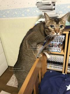 いたずらが見つかった猫の写真・画像素材[1303592]