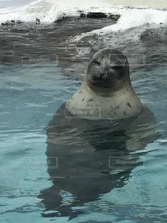 水のプールで泳ぐアザラシの写真・画像素材[1303593]
