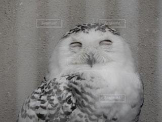 フクロウの写真・画像素材[1364123]