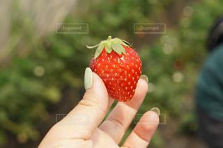 苺を持っている手の写真・画像素材[1290041]