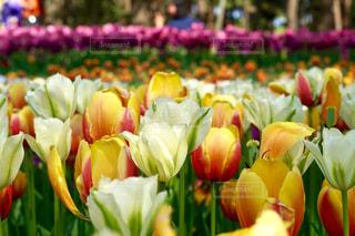色鮮やかなチューリップの写真・画像素材[1290042]