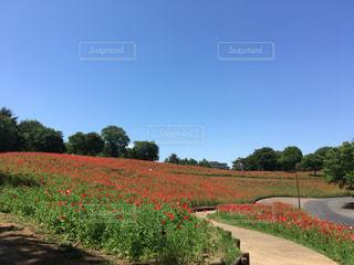 シャーレーポピーの花畑の写真・画像素材[1290043]