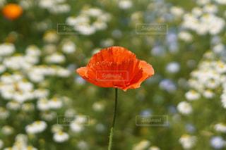 赤い花のアップの写真・画像素材[1290046]