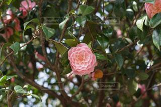 乙女椿の木と花の写真・画像素材[1290049]