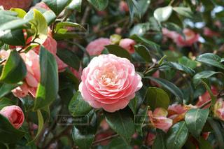 乙女椿の花のアップの写真・画像素材[1290050]