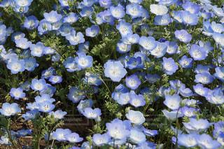 ネモフィラの花畑の写真・画像素材[1290227]