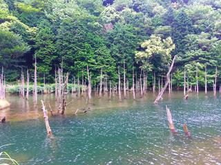 湖に浮かぶ木の写真・画像素材[1290230]