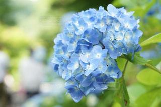 アジサイの花のアップの写真・画像素材[1290231]