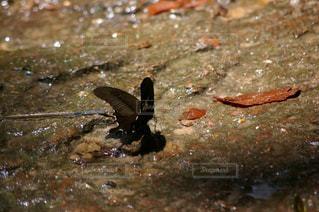 水を飲む蝶の写真・画像素材[1292909]