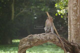枝の上に立つ棒を持った猿の写真・画像素材[1292917]
