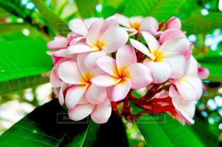 グアムの花のアップの写真・画像素材[1302928]