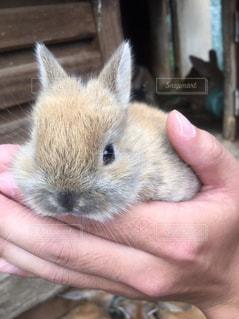 手のひらに収まる子ウサギの写真・画像素材[1291165]