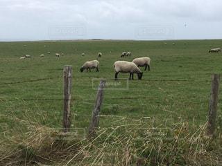羊の群れの写真・画像素材[1762388]