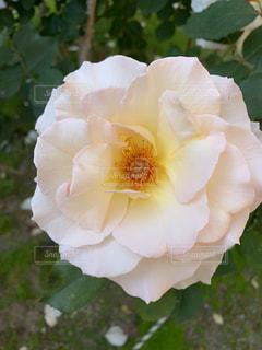 公園のバラの写真・画像素材[2130071]