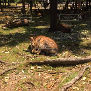 土の野原の上に横たわっている鹿の写真・画像素材[2178837]
