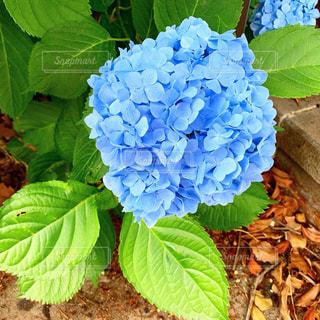 紫陽花のクローズアップの写真・画像素材[2182881]
