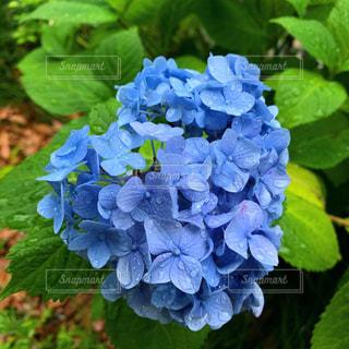 紫陽花のクローズアップの写真・画像素材[2182887]