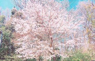 桜の写真・画像素材[1291226]